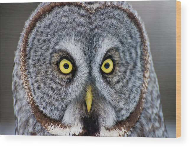Animal Themes Wood Print featuring the photograph Great Gray Owl by Copyright Michael Cummings