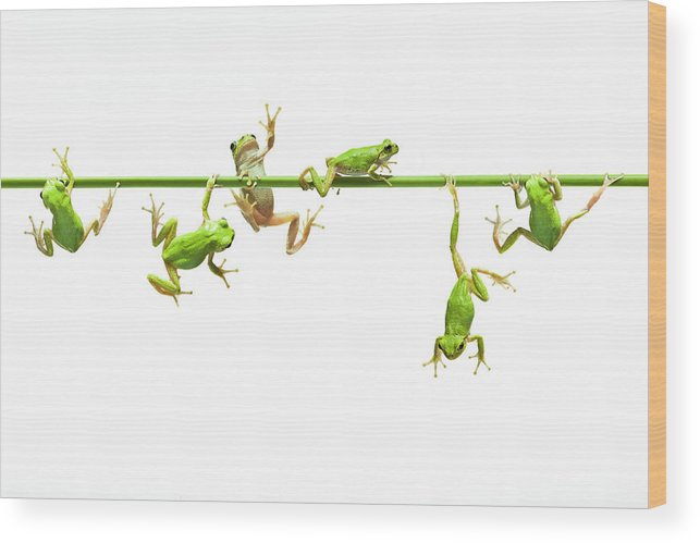 Hanging Wood Print featuring the photograph Green Flogs Each Other Freely On Stem by Yuji Sakai