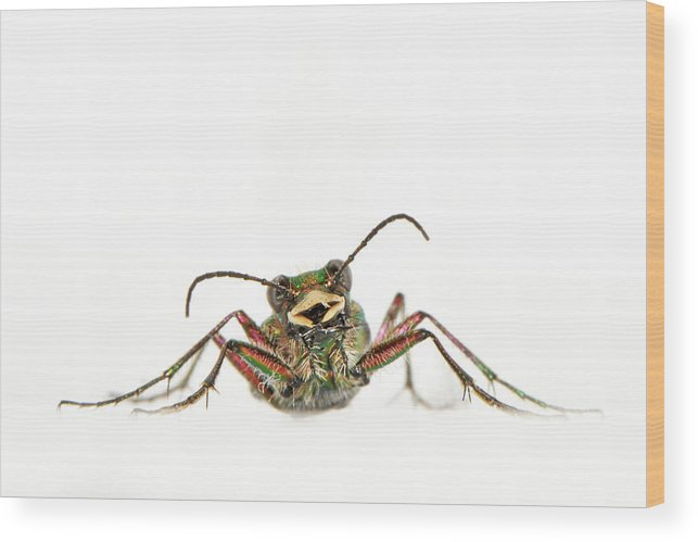 White Background Wood Print featuring the photograph Green Tiger Beetle by Robert Trevis-smith