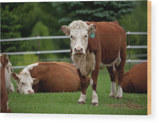 Grass Wood Print featuring the photograph Hereford Cows In Green Pasture by Emholk