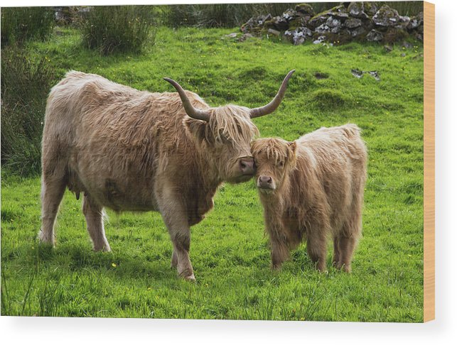Horned Wood Print featuring the photograph Highland Cattle And Calf by John Short / Design Pics