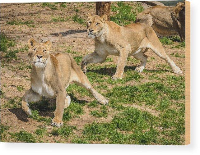 Lion Wood Print featuring the photograph Hokie Pokie by Pat Scanlon