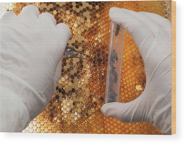 Honey Bee Wood Print featuring the photograph Honey Bee Research by Pan Xunbin