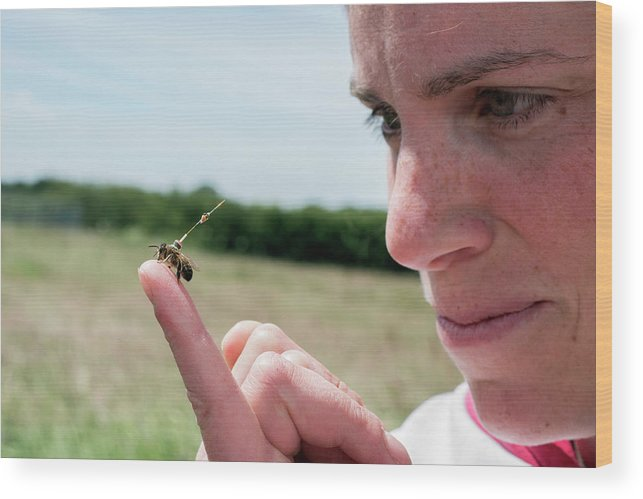 Honeybee Wood Print featuring the photograph Honeybee Radar Tagging by Louise Murray