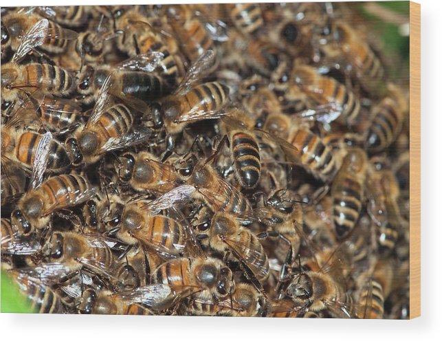 Animal Wood Print featuring the photograph Honeybee Swarm by Dr. John Brackenbury/science Photo Library