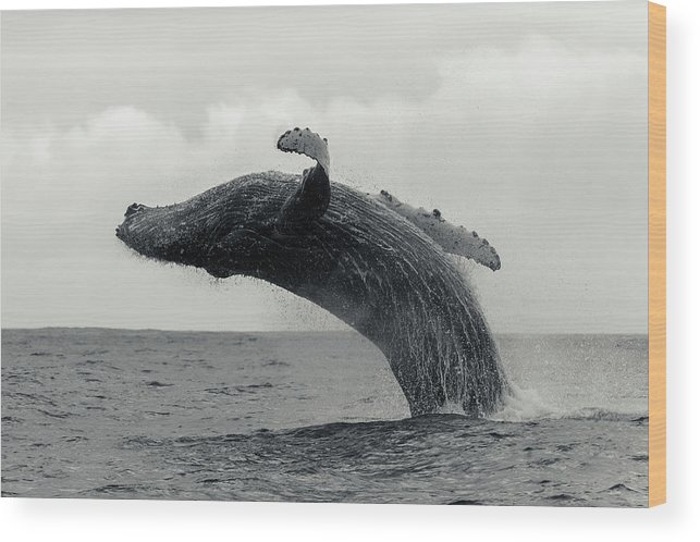 Underwater Wood Print featuring the photograph Humpback Whale Breaching Against A by By Wildestanimal