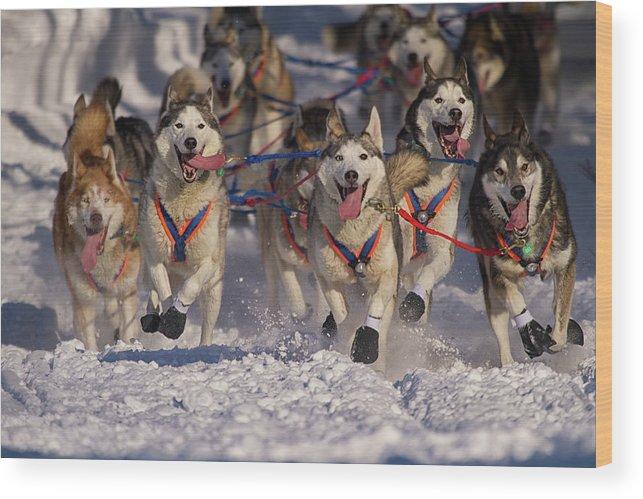 Snow Wood Print featuring the photograph Iditarod Huskies by Alaska Photography
