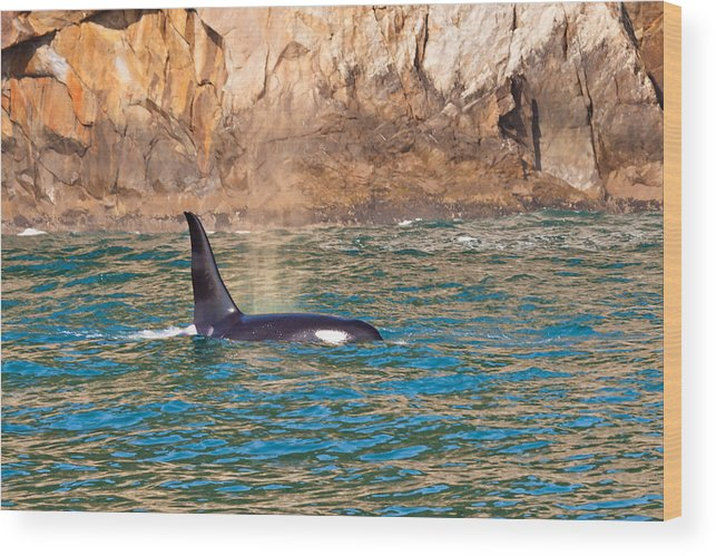 Wood Print featuring the photograph Killer Whale by Richard Jack-James