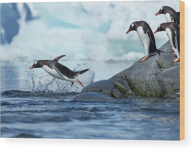 Water's Edge Wood Print featuring the photograph Leaping Gentoo Penguins, Antarctica by Paul Souders