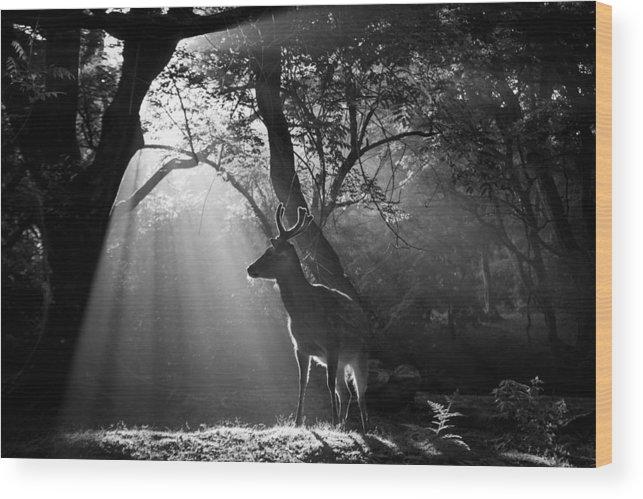 Deer Wood Print featuring the photograph Light And Deer by Yoshinori Matsui