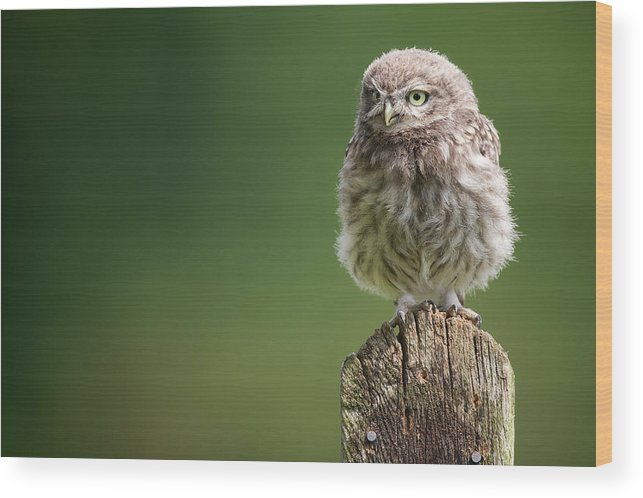Owlet Wood Print featuring the photograph Little Fuzzy by Markbridger