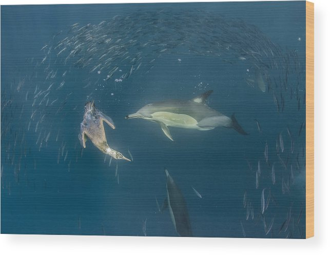 Feb0514 Wood Print featuring the photograph Long-beaked Common Dolphins And Cape by Pete Oxford