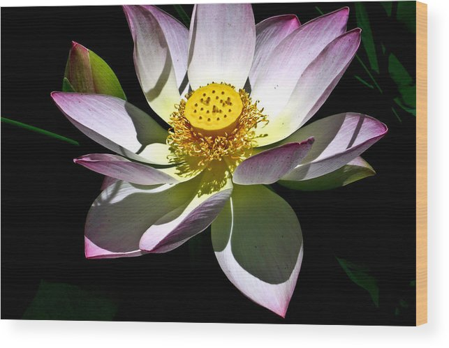 Lotus Wood Print featuring the photograph Lotus of the Night by Douglas Barnett