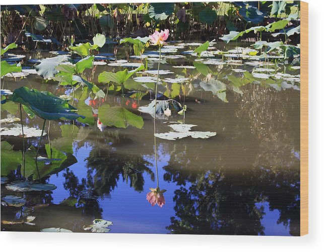 Garden Pond Wood Print featuring the photograph Lotus Reflection by John Lautermilch