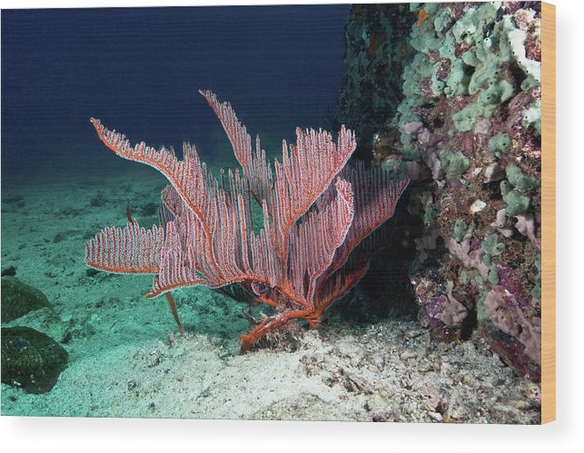 Underwater Wood Print featuring the photograph Lyre Gorgonian, Harp Coral by Gerard Soury