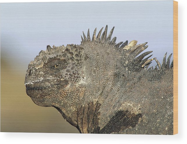 Feb0514 Wood Print featuring the photograph Marine Iguana Male Santa Cruz Island by Tui De Roy