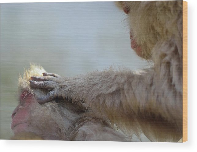 Animal Themes Wood Print featuring the photograph Monkey Head Massage by Electravk