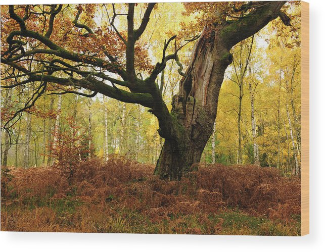 Aging Process Wood Print featuring the photograph Moss Covered Ancient Hollow Oak Tree In by Avtg