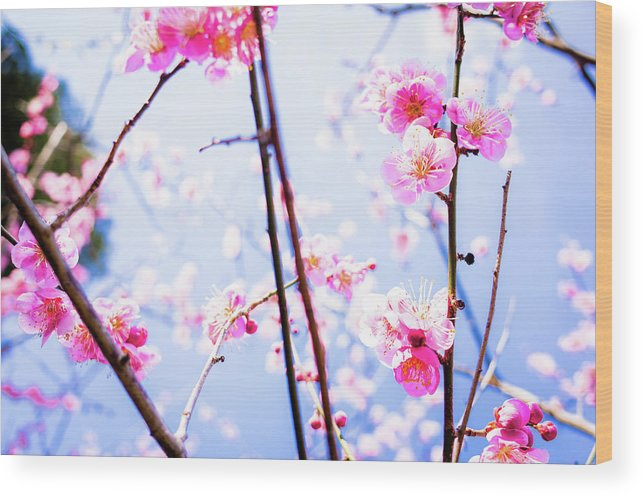Plum Wood Print featuring the photograph Plum Blossoms In Bloom by Marser
