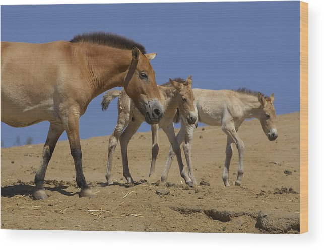 Feb0514 Wood Print featuring the photograph Przewalskis Horse With Two Foals by San Diego Zoo