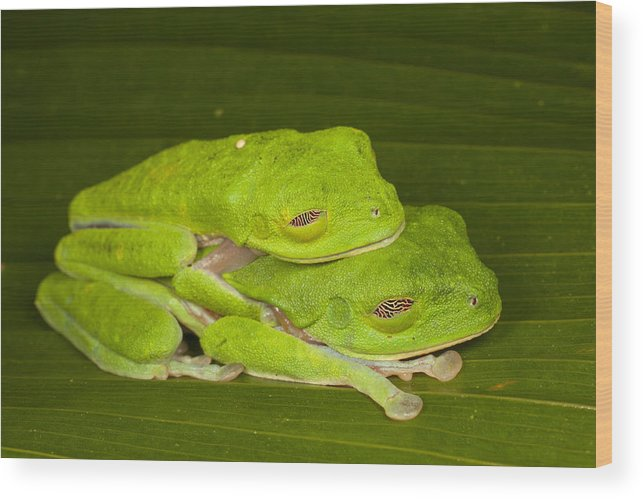 Feb0514 Wood Print featuring the photograph Red-eyed Tree Frogs In Amplexus Sleeping by Ingo Arndt