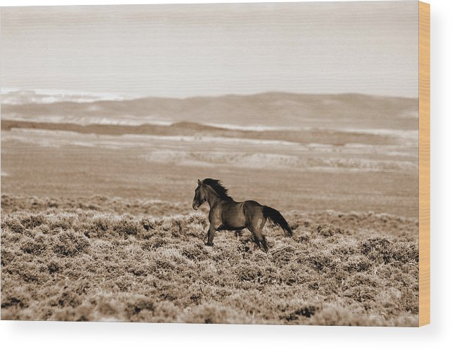 A Blm Mustang Runs In The Sand Wash Basin Near Baggs Wood Print featuring the photograph Sand Wash Mustang by Lourie Zipf