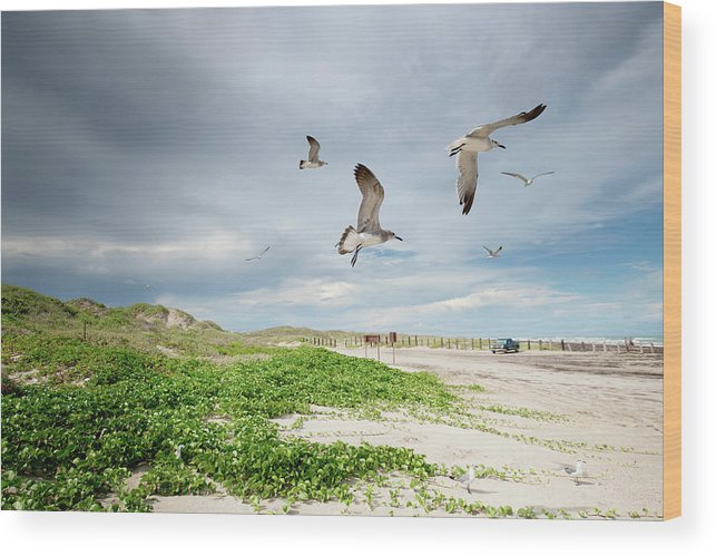 Scenics Wood Print featuring the photograph Seagulls In Flight At North Padre by Olga Melhiser Photography
