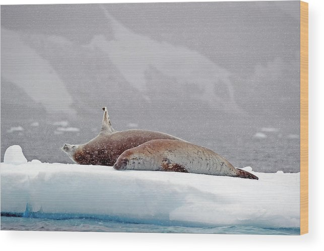 Animals In The Wild Wood Print featuring the photograph Seals Laying On A Piece Of Ice by Jim Julien / Design Pics