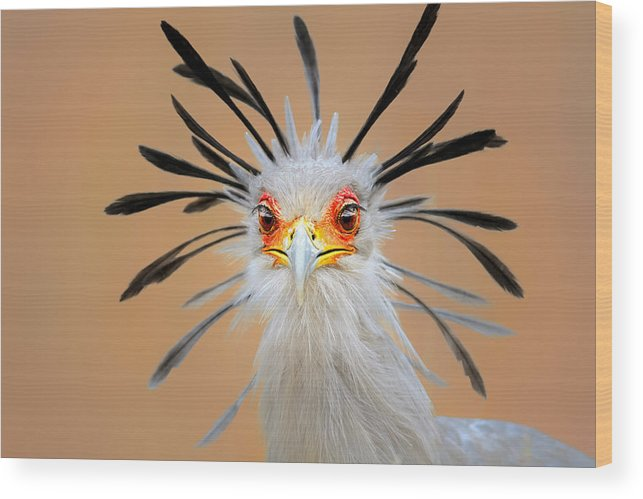 Bird Wood Print featuring the photograph Secretary bird portrait close-up head shot by Johan Swanepoel