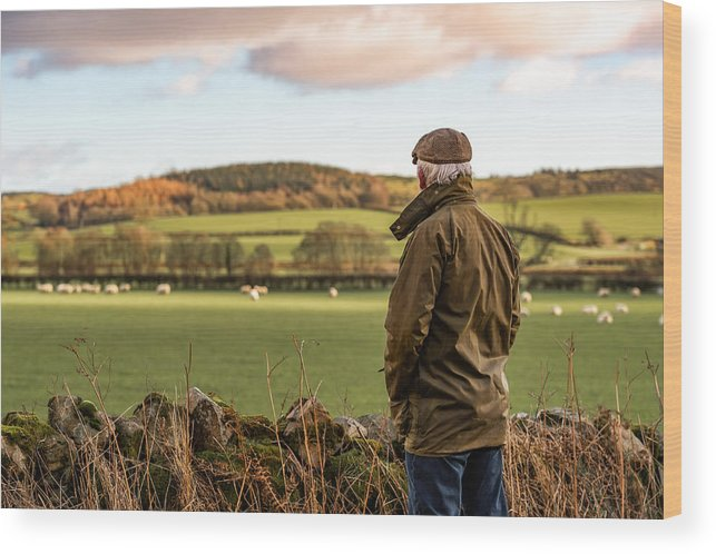 Working Wood Print featuring the photograph Senior man looking at field with sheep by JohnFScott