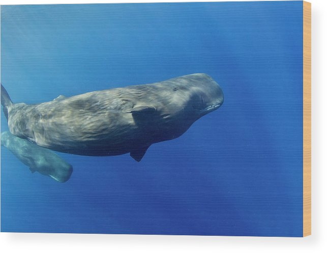 Underwater Wood Print featuring the photograph Sperm Whale Pyseter Macrocephalus by Stephen Frink
