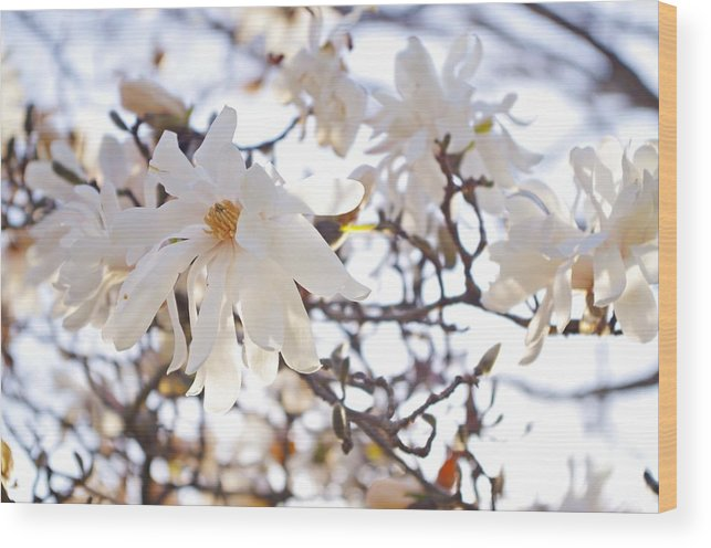 Magnolia Stellata Wood Print featuring the photograph Spring Flowers by Sharon Popek