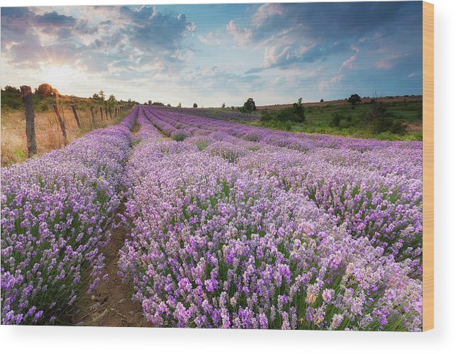 Sunny Lavender Wood Print By Evgeni Dinev Photography