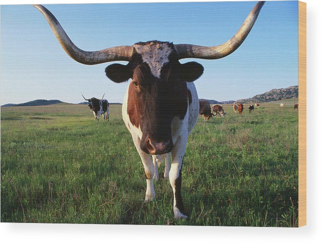 Horned Wood Print featuring the photograph Texas Longhorn Cattle by John Elk