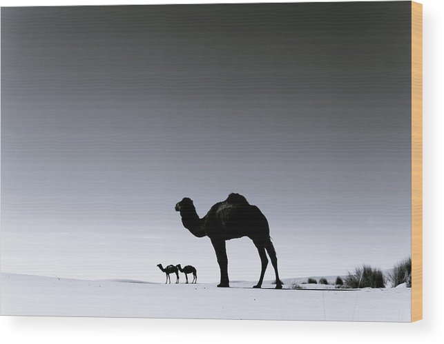 Scenics Wood Print featuring the photograph Three Camels In The Sahara Desert by Zodebala