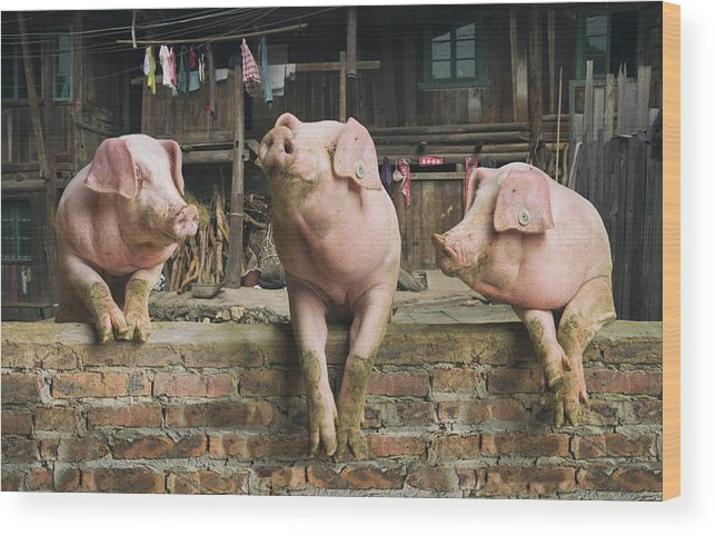 Pig Wood Print featuring the photograph Three Pigs Having A Chat In A Remote by Mediaproduction