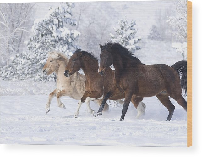 Horse Wood Print featuring the photograph Three Snow Horses by Carol Walker