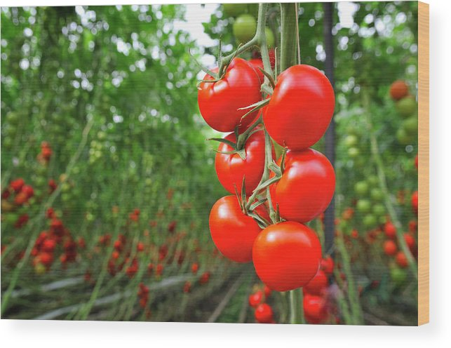 Agricultural Building Wood Print featuring the photograph Tomato Greenhouse by Sjo