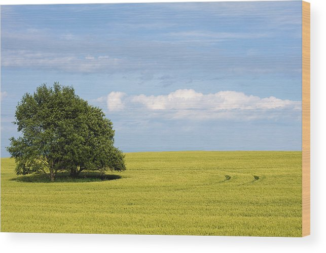 Grass Family Wood Print featuring the photograph Trees In Wheat Field by Simplycreativephotography