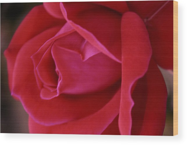 Rose Wood Print featuring the photograph Unfolding Glory by Mary Beglau Wykes