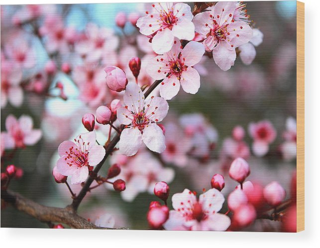 Cherry Blossom Wood Print featuring the photograph Virginia Cherry Blossom by Candice Trimble