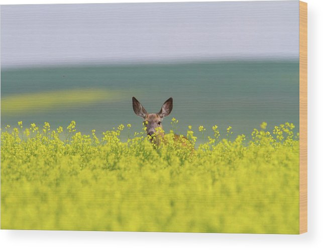 Alertness Wood Print featuring the photograph White-tailed Doe by Ed Matuod