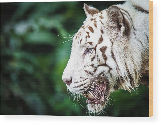 Snarling Wood Print featuring the photograph White Tiger by Tony Kh Lim