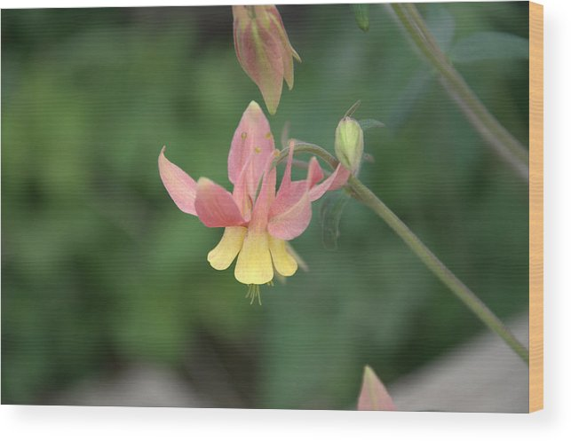 Flower Wood Print featuring the photograph Yellow Columbine by Frank Madia