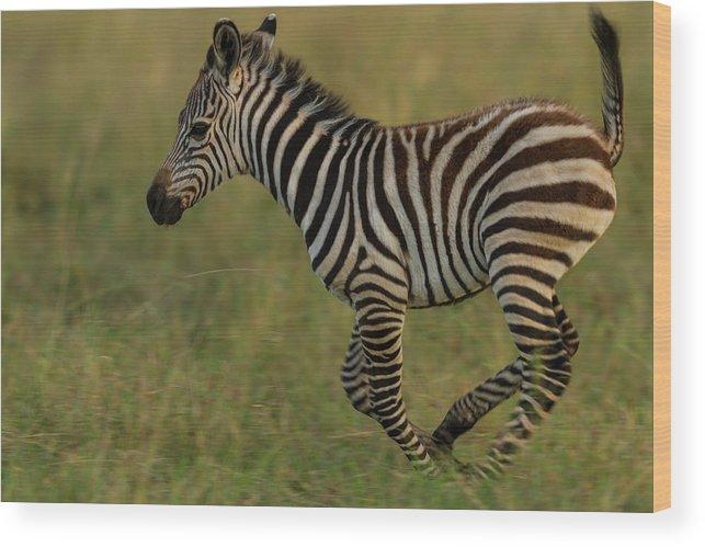 Plains Zebra Wood Print featuring the photograph Zebra Foal Running For Joy by Manoj Shah