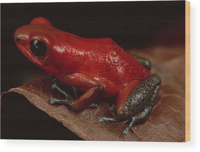 Mp Wood Print featuring the photograph Strawberry Poison Dart Frog Dendrobates by Mark Moffett