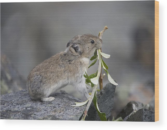 Mp Wood Print featuring the photograph American Pika by Michael Quinton
