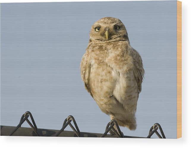 00429736 Wood Print featuring the photograph Burrowing Owl On Fence Alviso California by Sebastian Kennerknecht