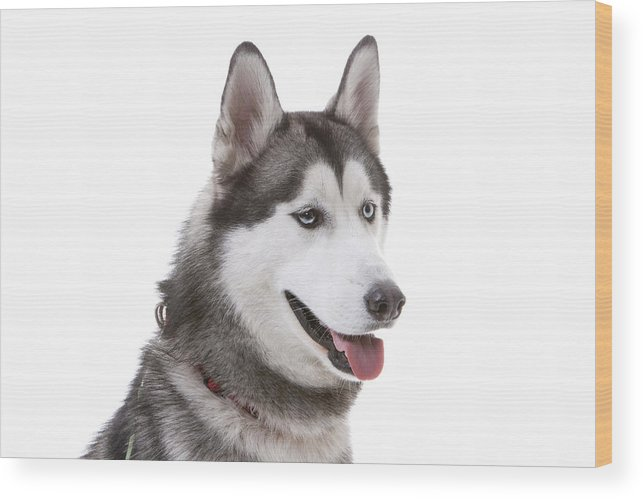 Horizontal Wood Print featuring the photograph Close-up Of Siberian Husky by Lane Oatey/Blue Jean Images