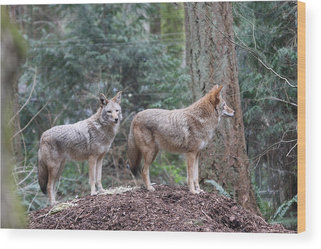 Northwest Trek Wood Print featuring the photograph Coyote - 0011 by S and S Photo